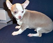 Awaresome Chihuahua Puppies For sale